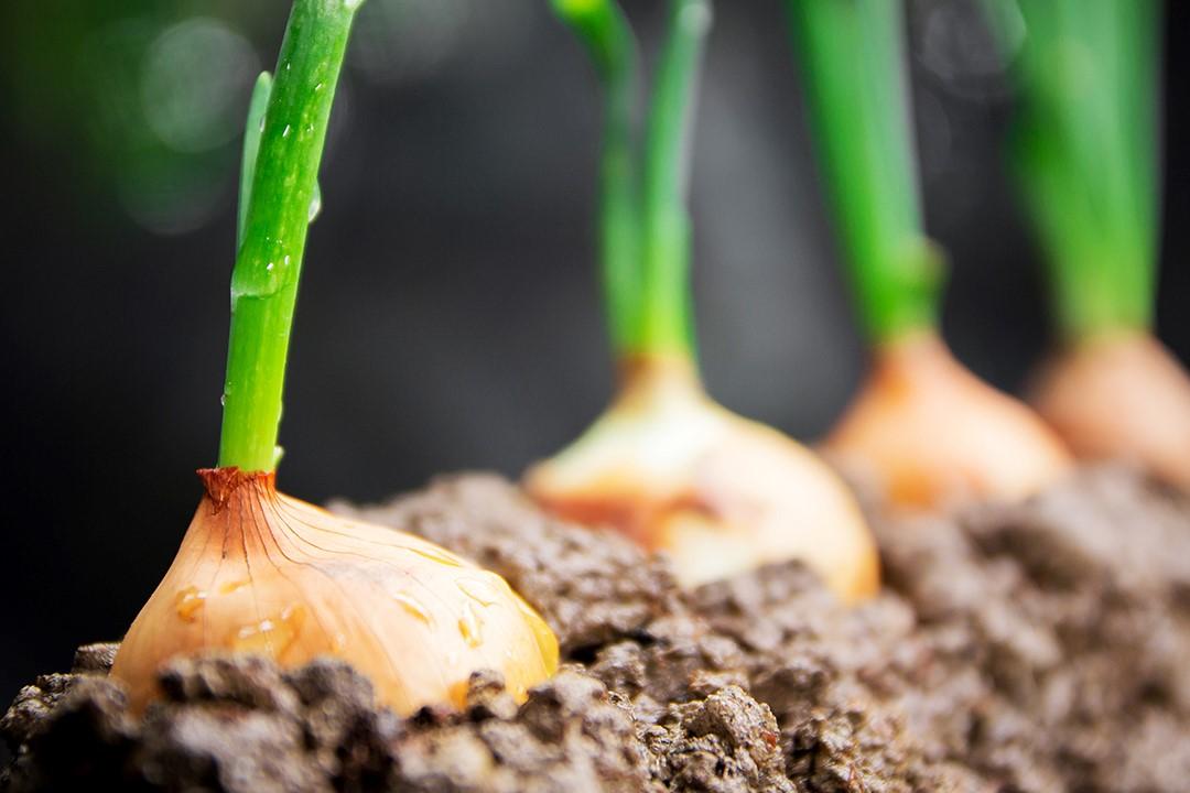 Το Benevia 10OD εναντίον της Υλεμύιας (Delia antiqua) στην καλλιέργεια του ξηρού κρεμμυδιού